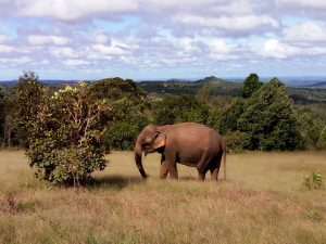 Elephant in Mondulkiri in Northeastern Cambodia